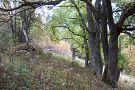 Skupinka vysadených jaseňov pred zaniknutým domom v horskej osade Ambrušovce