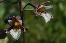 Kruštík močiarny - Epipactis palustris. Detail kvetu.