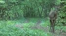 Jeleň lesný (Cervus elaphus)