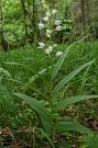 Prilbovka dlholistá - Cephalanthera longifolia