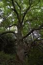 Jaseň štíhly (Fraxinus excelsior)