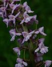 Päťprstnica obyčajná pravá - Gymnadenia conopsea subsp. conopsea