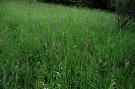 Mečík škridlicovitý - Gladiolus imbricatus