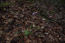 Prilbovka červená - Cephalanthera rubra
