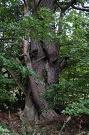 Borovica lesná - Pinus sylvestris