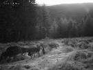 Čergovská svorka zachytená fotopascou. Vlk dravý - Canis lupus