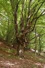 Hrab obyčajný - Carpinus betulus