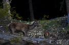 Jeleň lesný - Cervus elaphus