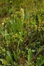 Bieloprst belavý - Pseudorchis albida