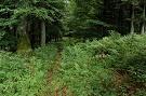 Bukovo jedľový les