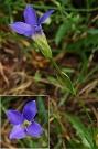 Pahorec brvitý - Gentianopsis ciliata