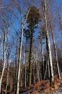 Jedľa biela (Abies alba)