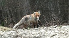 Líška hrdzavá (Vulpes vulpes)
