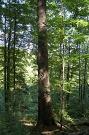 Jedľa biela (Abies alba). Obvod kmeňa 3,55 m